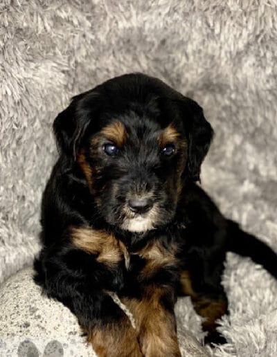 Puppy 3 - Second litter